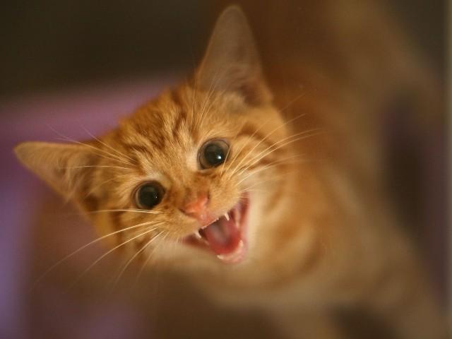 kitten-orange-meowing